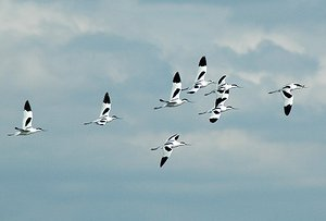 Flock of Avocet flying