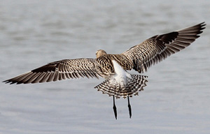Bar-Tailed Godwit flying away