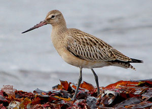 Bar-Tailed Godwit juvenile