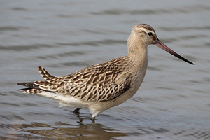 Image result for bar tailed godwit