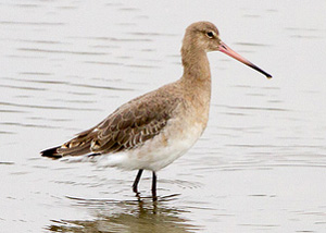 Black-Tailed Godwit in winter plumage