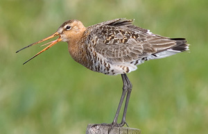 Black-Tailed Godwit female in summer plumage