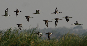 Black-Tailed Godwit flock