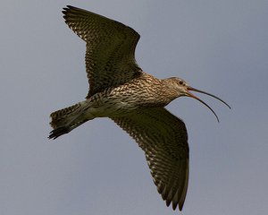 Adult Curlew flying