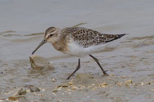 Curlew Sandpiper in winter plumage