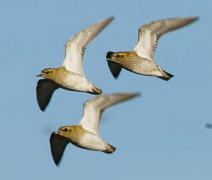 Identify a golden plover pluvialis apricaria flock of golden plover freerunsca Images