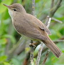 Identify A Reed Warbler Acrocephalus Scirpaceus