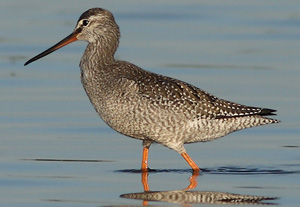Spotted Redshank juvenile