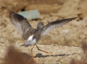 Spotted Redshank showing wings