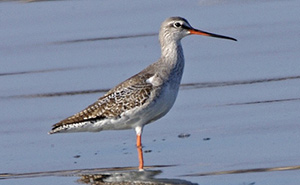 Spotted Redshank in winter plumage