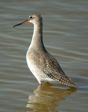 Spotted Redshank with spotted primaries