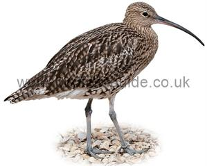Curlew identification
