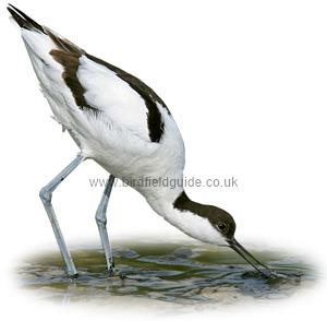 Avocet identification