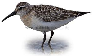 Curlew Sandpiper in winter plumage identification
