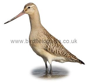 Bar-Tailed Godwit in winter Plumage identification